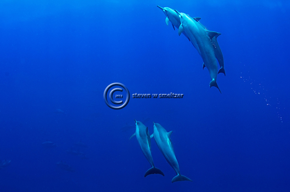 Spinner Dolphin, Party at the Rock, Stenella longirostris longirostris, Molokai Hawaii