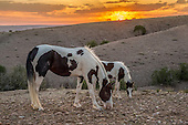HORSES OF THE NEW MEXICO COUNTRY