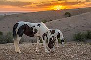 PLACITAS WILD HORSES: BLACK AND WHITE PAINTS