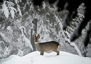 A beautiful male of Roe Deer in the Italian  forest during a snowfall <br /> &copy;Claudio Zamagni