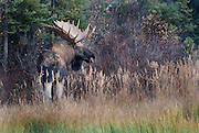 Moose in the Yukon