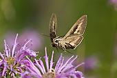 SPHINX MOTHS AND WILDFLOWERS