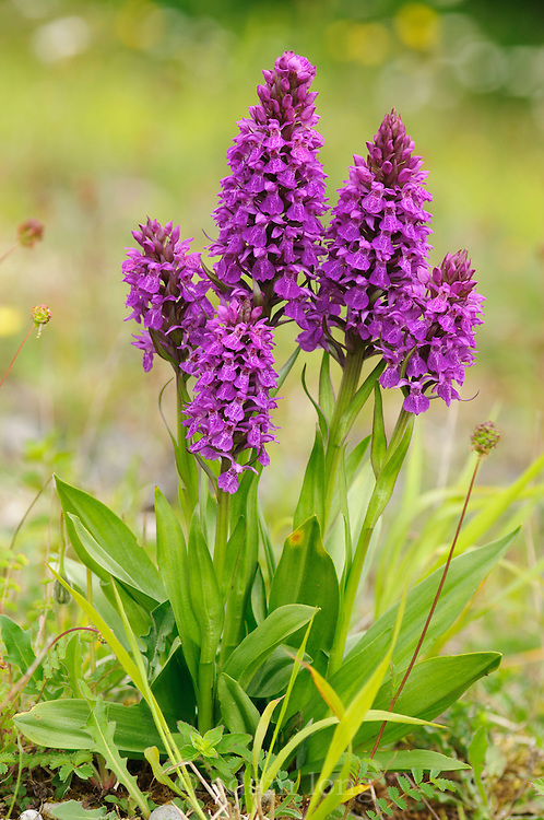 Southern Marsh Orchid, Dactylorhiza praetermissa, growing in an old limestone quarry, Middleton Dale, Peak District