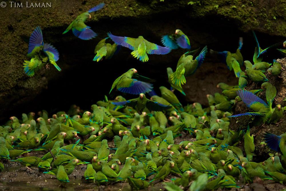 Cobalt-winged Parakeets (Brotogeris cyanoptera) feeding on clay at the clay lick east of Anangu and south of the Napo River, Yasuni National Park, Orellana Province, Ecuador.