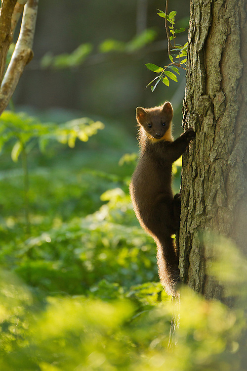 Pine marten (Martes martes) youngster climbing pine tree in woodland, Beinn Eighe National Nature Reserve, Wester Ross, Scotland, UK