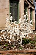 20070323 Magnolias
