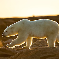Canada, Nunavut Territory, Setting midnight sun lights Polar Bear (Ursus maritimus) walking along rocky shoreline by Hudson Bay