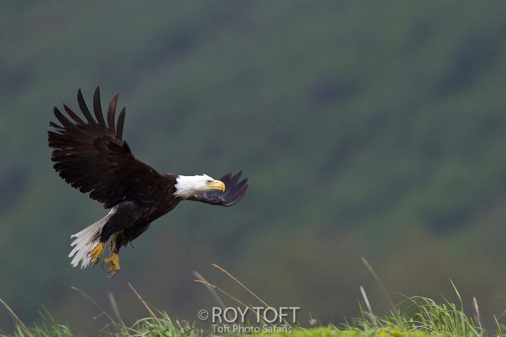 American Bald Eagle in Flight, Kukak Bay, Alaska