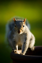 Grey squirrel on a chimney pot (used as a garden plant pot), Leicester, England, United Kingdom.