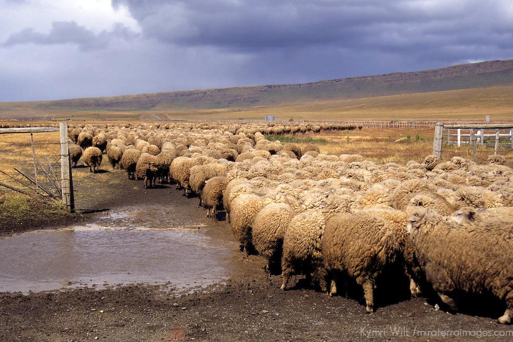 Americas, South America, Chile, Puerto Natales. Sheep herding in Patagonia.