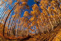 An aspen grove, Last Dollar Road, between Telluride and Ridgway, San Juan Mountains, southwest Colorado USA.
