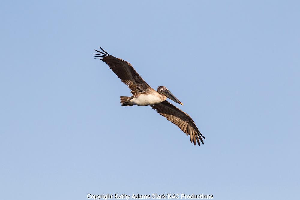 Brown pelican, Pelecanus occidentalis, flying, soaring, spring, Galveston, Texas.