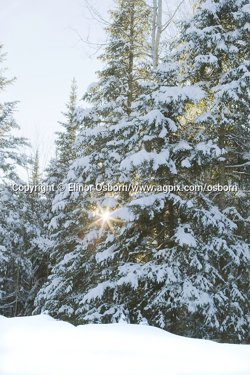 Sunstar in balsam fir