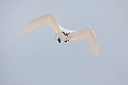Red-tailed Tropic bird flying