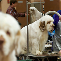 Spaniels are groomed backstage during the ASC Flushing Spaniel Show at the Valley Forge Convention Center in King of Prussia, Pennsylvania, USA.  The annual contest is among the largest dog shows in the country and all important for spaniels, honouring the finest dog within the 12 breeds, the coveted best in show award.