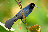 Boat tailed Grackle Quiscalus major Wakodahatchee Wetlands Delray Beach Florida USA