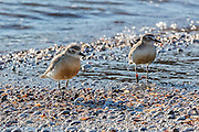 A pair of New Zealand Dotterels enjoy the beach at Waiheke Island