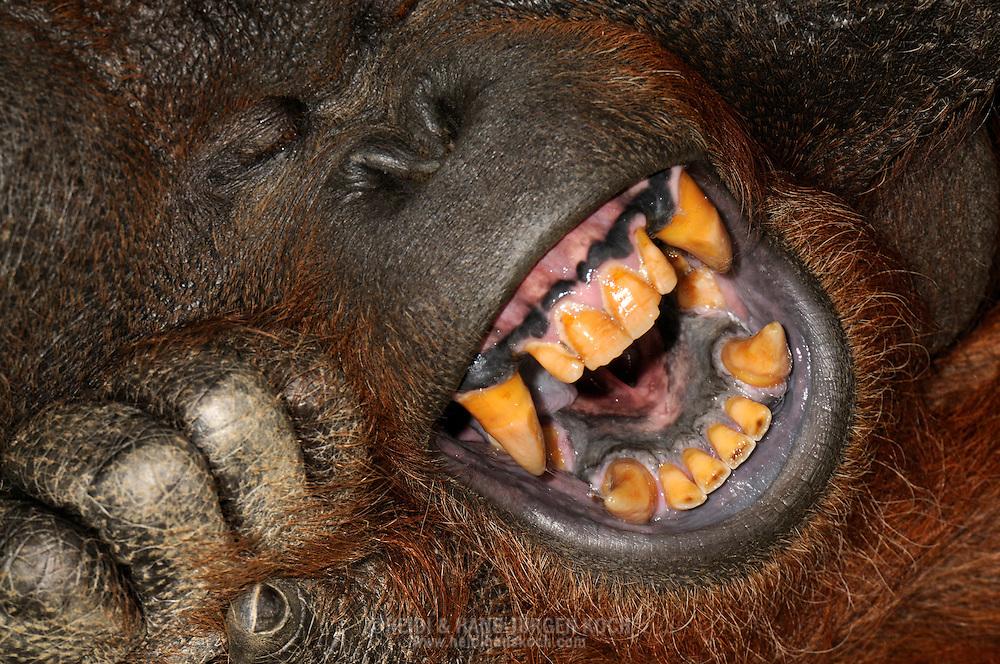 Borneo Orang-utan (Pongo pygmaeus).Portrait of a yawning adult male Orang-utan, his head resting on his hand. The dentition is as in all Old World monkeys from 32 teeth, the canines are trained in males particularly large...Borneo-Orang-Utan (Pongo pygmaeus).Portrait eines gähnenden adulten Orang-Utan-Mannes, den Kopf auf die Hand gestützt. Das Gebiß besteht wie bei allen Altweltaffen aus 32 Zähnen, wobei die Eckzähne bei Männchen besonders groß ausgebildet sind.