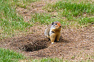 A Columbian Ground Squirrel (Urocitellus columbianus) by his/her burrow at Lightning Lakes in Manning Provincial Park in British Columbia, Canada.