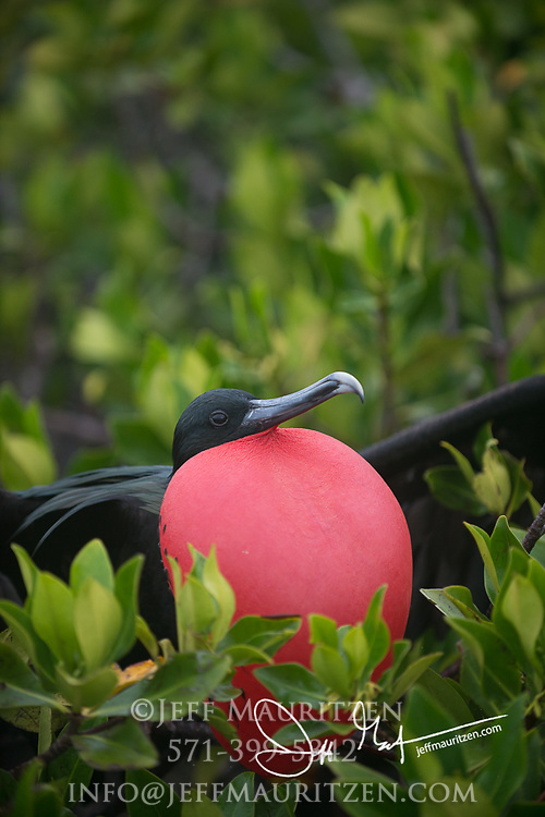 A male frigatebird sits in a mangrove forest on Genovesa island in the Galapagos with its gular sack inflated to attract a mate.