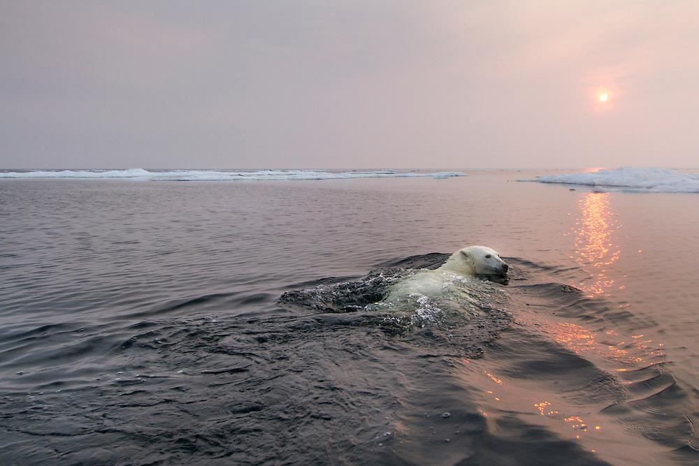 Canada, Manitoba, Churchill, Polar Bear (Ursus maritimus) swimming in Hudson Bay at sunset on summer evening