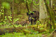 Wild boar with young piglets, Sus scrofa, in the Old mixed conifer and broadleaf forest in the Punia forest reserve, not logged or hunted in for more than 70 years, Lithuania