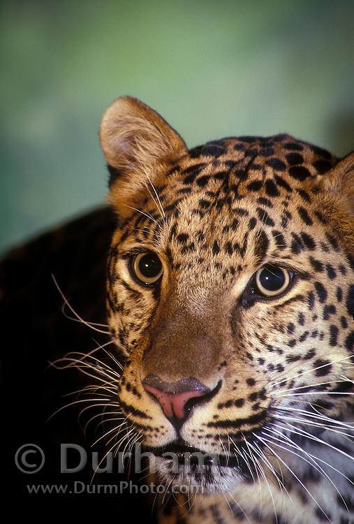 An amur leopard (Panthera pardus orientalis) .