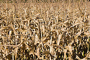 Cornfield in autumn