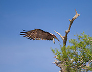 An osprey with wings pointed forward at take off.<br /> Blue Cypress Lake, FL