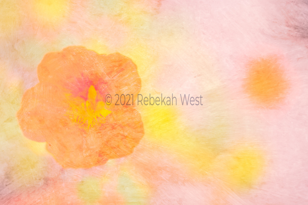 Pale orange poppy with magenta center blob and yellow stamen center, poppy close up sits vertically centered on left side of horizontal image, background roughly split into two fields, right field is rose pink with one orange sphere soft focus poppy in distance mirroring magenta poppy center and yellow spheres, left field is mostly yellow spheres on slightly darker pink background, flower art, feminine, millennial pink, high resolution, license, 5616 x 3744