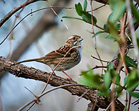 Song Sparrow. Image taken with a Nikon 1V1 camera, FT1 adapter, and 70-200 mm f/2.8 lens (ISO 100, 200 mm, f/2.8. 1/80 sec).