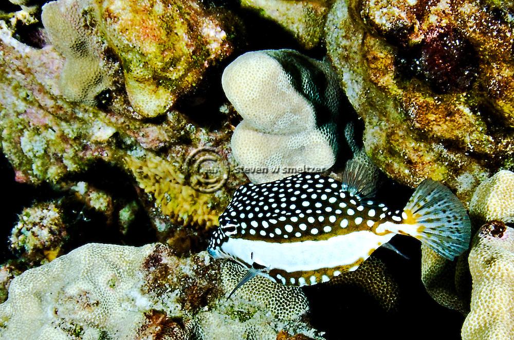 Whitley's Boxfish Closeup, Ostracion whitleyi, Fowler, 1931, Kona Hawaii