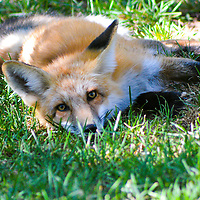 American Red Fox, taken in Pagosa Springs, CO
