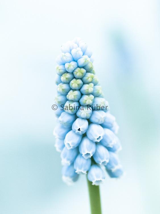 Muscari 'Jenny Robinson' - grape hyacinth