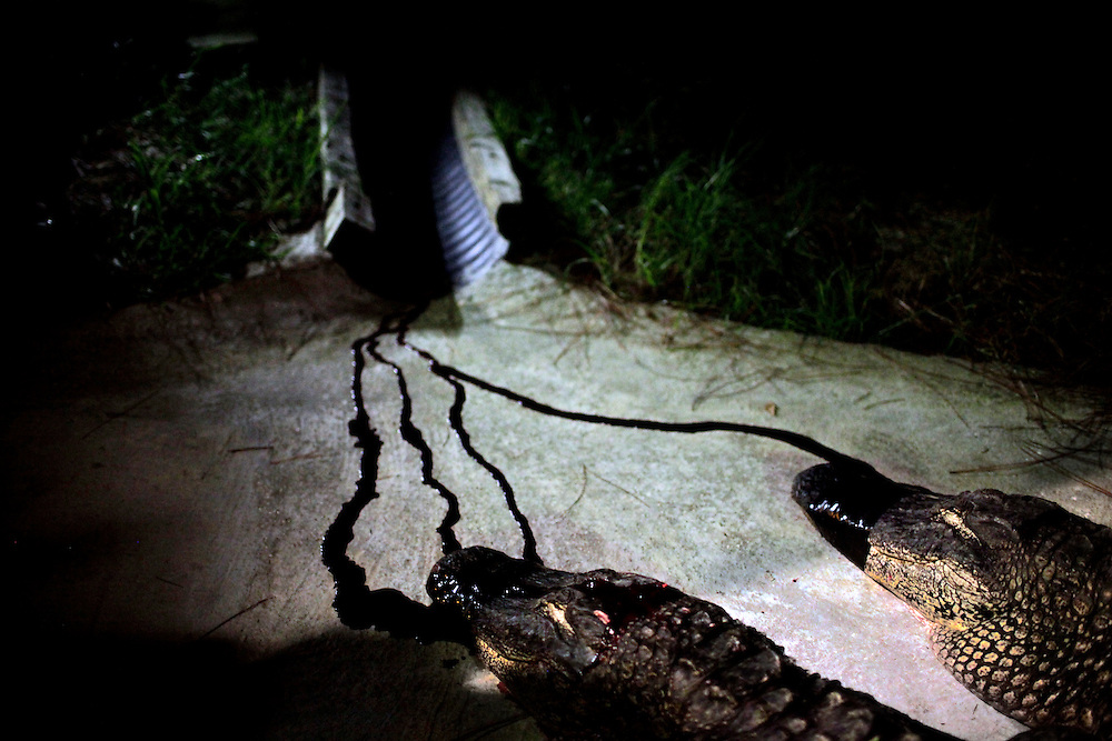 Alligators are bled out by trappers before being harvested for their meat and hides. Alligators caught in the wild are almost always harvested because the state has determined the population of about 1.3 million is sufficient to handle it. Also, there are difficulties in relocating alligators, which may cause trouble in a new home. Greg Kahn/Staff
