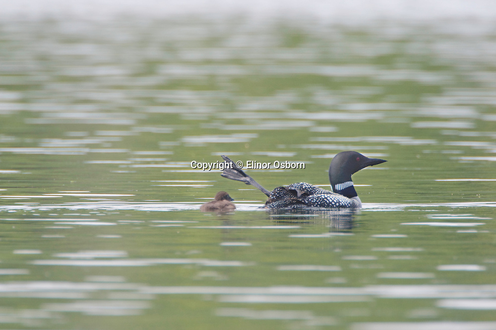Common Loon doing foot waggle