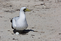 A female Masked booby (Sula dactylatra) sits on an egg in a shallow depression on the beach at Adele Island, a small island in the Indian Ocean off the Kimberley coast.