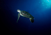 UNDERWATER MARINE LIFE HAWAII TURTLES: Green Sea Turtle