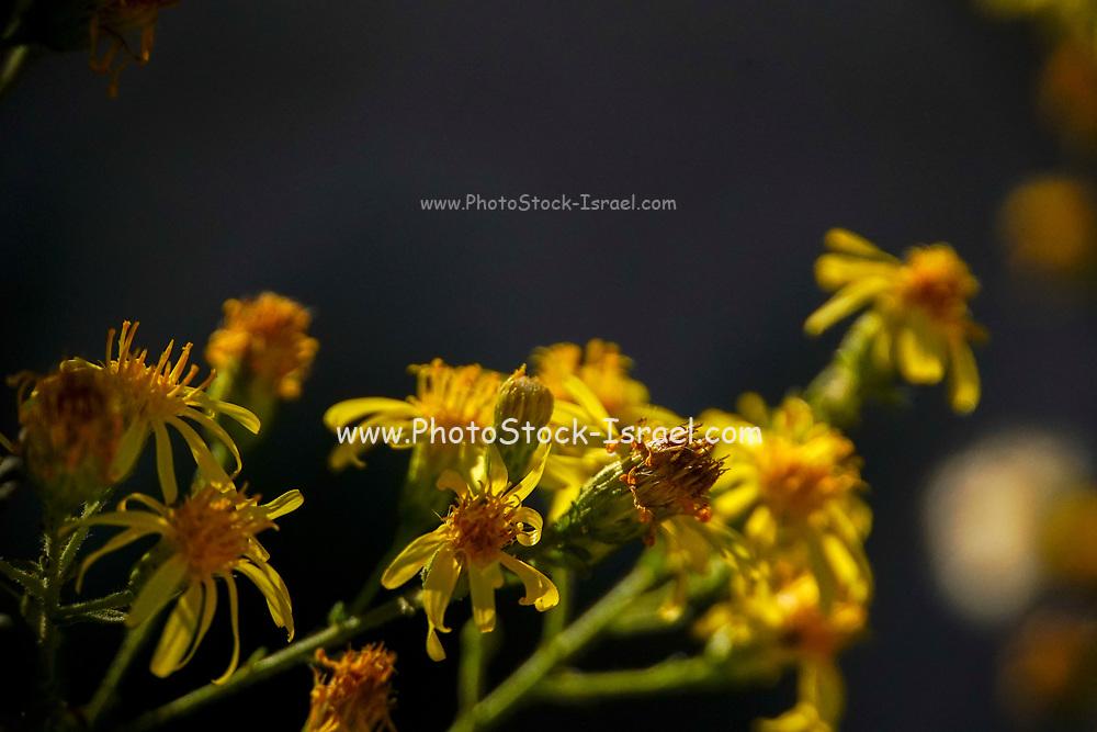 Yellow wildflowers on dark black background