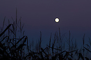 Middletown, New York  - The full moon rises over corn plants on Sept. 18, 2013. ©Tom Bushey / The Image Works