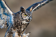 Great-horned owl portrait, as it lands with feet forward, © 2005 David A. Ponton
