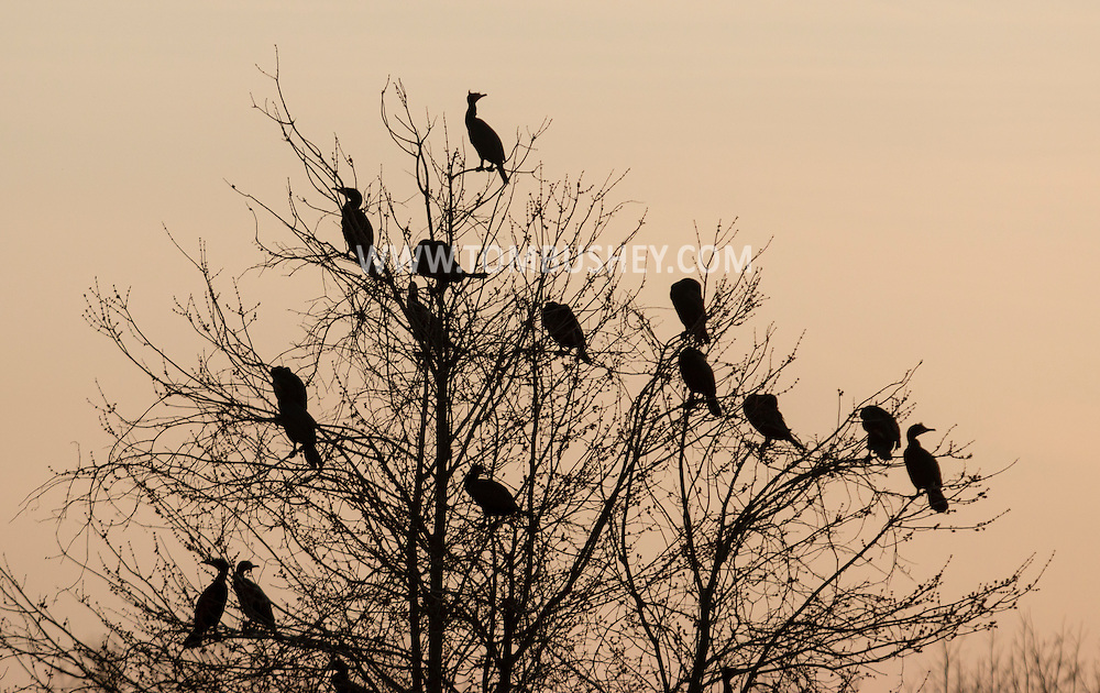 Middletown, New York - A group of double-crested cormorants perch in a tree at Fancher-Davidge Park on April 13, 2015.