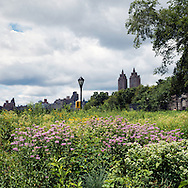 An urban field of wildflowers along The Reservoir in Central Park.