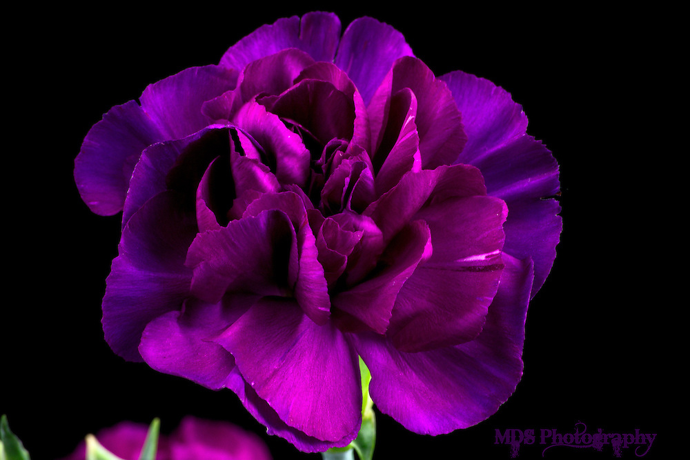 Purple Carnation flowers close up macro