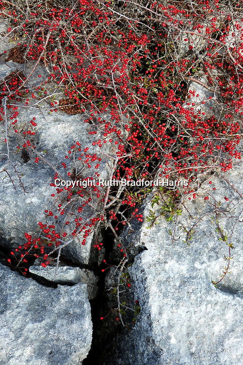Berry-laded Midland Hawthorn (Crataegus laevigata) bushes growing in the narrow grikes of the limestone pavement of Farleton Knott in South Cumbria.  <br /> <br /> Limestone pavements were formed during the last Ice Age in the Pleistocene period when moving glaciers scoured bare the surface of the underlying limestone bedrock. The classic pattern of clints (blocks) and grikes (fissures) was produced by the erosive action of overlying soil - such as the moraine deposited by the glacier - and the rainwater that permeated it, enlarging the natural faults in the limestone rock.<br /> <br /> (One of a sequence of 3 images in this gallery).<br /> <br /> Date taken: 24 September 2014.