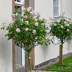 Standard roses by house - Rosa 'Gentle Hermione' syn. 'Ausrumba'