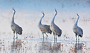 Four Sandhill cranes calling in unison just before sunrise at Bosque del Apache NWR, New Mexico