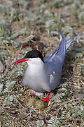 An arctic tern (Sterna paradisaea) guards the two eggs in her nest in Iceland's West Fjords. The arctic tern migrates farther than any other known animal, spending the southern hemisphere summer in the ocean off Antarctica and breeding during the northern hemisphere summer near the Arctic Circle. One study found the average arctic tern flies 44,300 miles (70,900 km) per year.