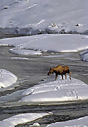 Alaska. Denali National Park. Moose (Alces alces) the largest subspecies of deer in the world, stand 6 ft tall at the shoulder and weigh near 1600 lbs. They live in a range of habitats, from boreal forest to arctic tundra. Moose have an exceptional sense of smell, keen eyesight, and acute hearing to help protect them from predators.