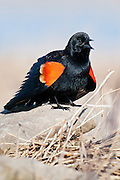 Red-winged Blackbird, Agelaius phoeniceus, male, Shiawassee River, Saginaw County, Michigan
